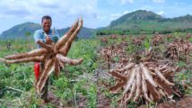 Hello guy, today I show you How to Grow Cassava to Fast Harvesting and Most Yield-Easy and Effective-Agriculture Technology